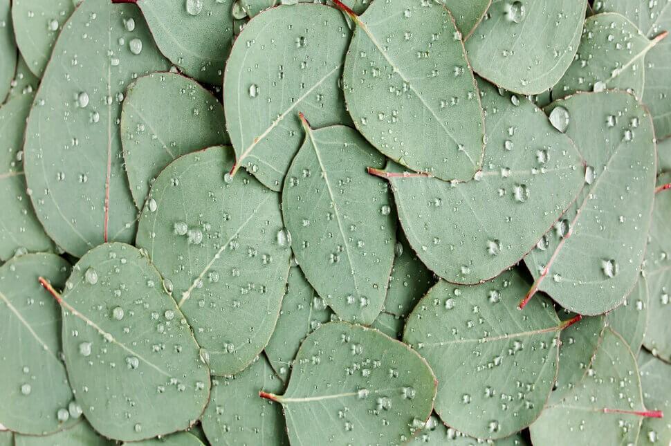 Mitos atau Fakta, Minyak Eucalyptus Bisa Meredakan Batuk